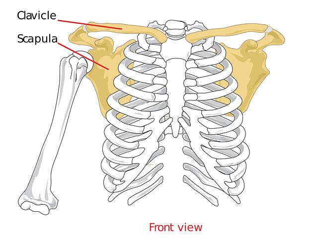 clavical 41577 640 - 賢いヨガブロックの使用方法『肩甲骨の簡単ストレッチ』を知っていますか?